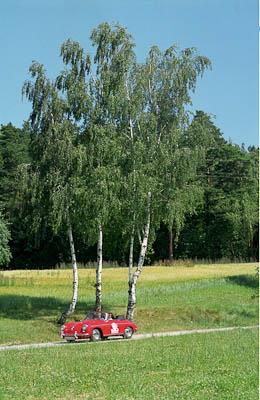 Birken säumen den Weg